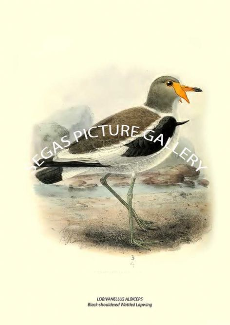 Fine art print of the LOBIVANELLUS ALBICEPS - Black-shouldered Wattled Lapwing by Henry Seebohm (1887)